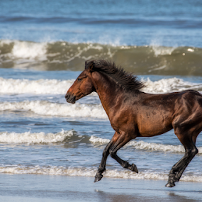 Born Free by Ernie Page - Animals Horses ( horses on the beach, horses, outer banks, beach, wild horses, north carolina,  )