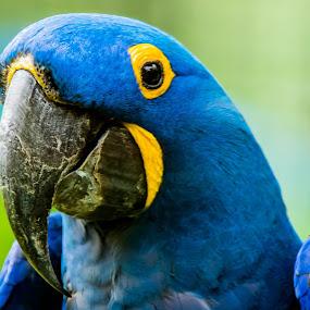Bluiee by Ken Nicol - Animals Birds (  )