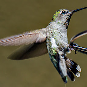 Ready for landing by Johannes Bichmann - Animals Birds ( hummingbirds )