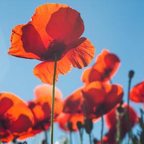 Poppies by Karen Havenaar - Nature Up Close Flowers - 2011-2013 ( backlit, blue sky, red, summer, poppies, flowers )