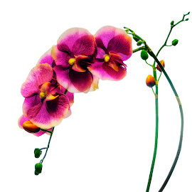 Artificial orchids by Dragan Milovanovic - Artistic Objects Other Objects ( cloth, orchids, handicraft, artificial orchids, artificial )