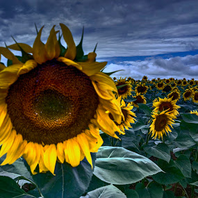 Sunflower by Stratos Lales - Flowers Flowers in the Wild ( field, greece, summer, sunflower, drama )