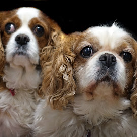 Millie & Queenie by Chaz Clark - Animals - Dogs Portraits ( flash, dogs, k.c.c., portrait, king charles spaniel )