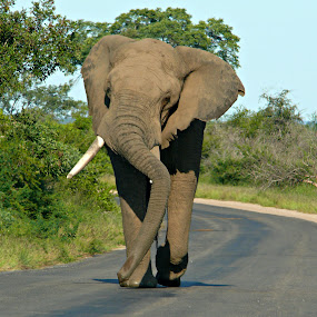 Elephant by Jacques De Villiers - Animals Other Mammals
