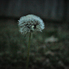 Make a Wish by Brittany Pitt - Nature Up Close Other plants ( dandelion, wishes, zoom, nighttime, springtime )