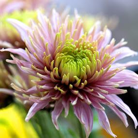 by Carmen Baltianu - Flowers Flower Gardens