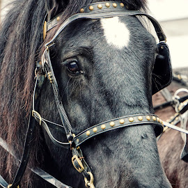 Black Beauty  by Todd Reynolds - Animals Horses