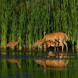 Coexisting in Peace by Pam Cryderman - Animals Other ( animals, nature, wild animals, reflections, two subjects, landscapes, birds, the golden hour, deer )