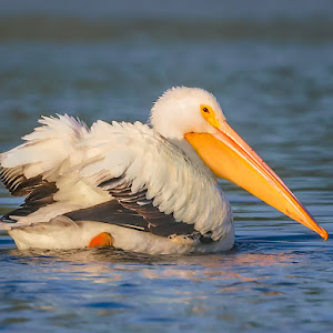 Peaceful-Pelican.jpg