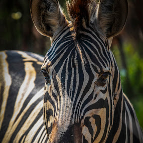 by Johan Niemand - Animals Other Mammals ( white, ears, zebra, stripes, black )