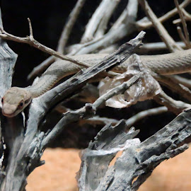 by Sumi Ahmed - Animals Reptiles ( nature, beautiful, al ain zoo, desert snake )