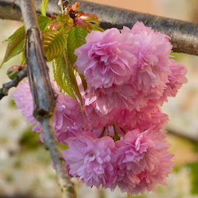 Pink by Helena Moravusova - Flowers Flower Gardens ( spring, flowers, pink, nature )