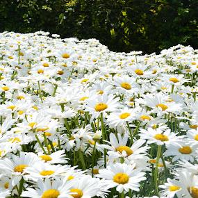 Wisley 2016 sunflowers by Mike Tricker - Flowers Flower Gardens (  )
