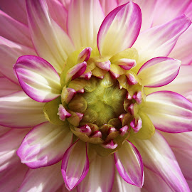 Dahlia by Millieanne T - Flowers Single Flower