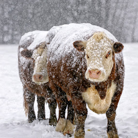 Covered in White by Twin Wranglers Baker - Animals Other Mammals (  )