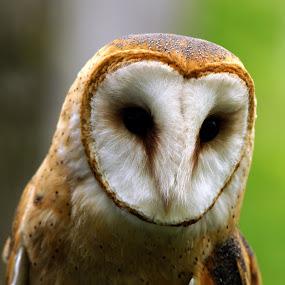 Barn Owl by Tina Hailey - Animals Birds ( animals, barn owl, natural, birds, owls, eagle release program,  )