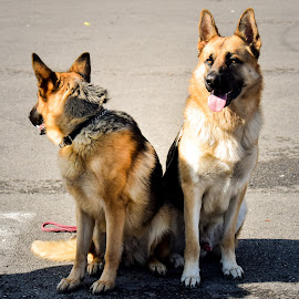 by Ciprian Pavelescu - Animals - Dogs Portraits ( dogs, park, german, sheppard )