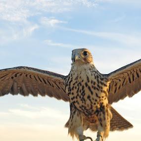 falcon by Yahia  husain - Animals Birds ( bird, falcon, wildlife )