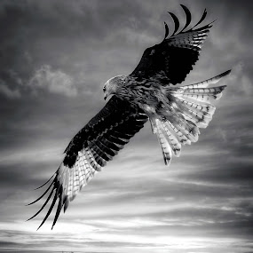 Wide glide by Stephen Crawford - Black & White Animals ( wide shot, black and white, wingspan, translucent, red kite, feathers,  )
