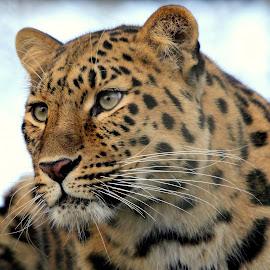 Leopard by Ralph Harvey - Animals Lions, Tigers & Big Cats ( wildlife )