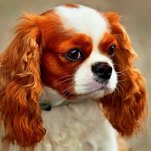 Dog KING Charles 9 12 pixo.jpg