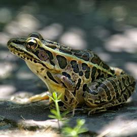 Pickerel King by Brian Homitz - Animals Amphibians ( huge, pickerel frog, big frog, frog, green, amphibian, brown, amphibians, tan,  )