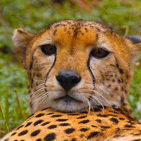 Cheetah by Johann Fouche - Animals Lions, Tigers & Big Cats ( big cat, cheetah, cat face, cat, cat portrait,  )