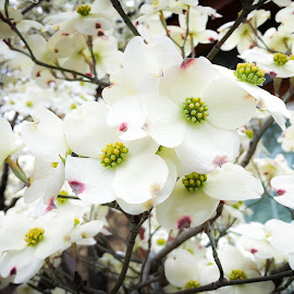Dogwood by Mary Phelps - Flowers Tree Blossoms ( spring, blossom, tennessee, nashville, dogwood, tree, t1i, canon )