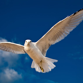 Seagull 2168 by D. Jan Anderson - Animals Birds ( wing, scanvenger, fish, white, audubon, sea, larus, feather, bird, flight, ornithology, carnivore, laridae, beak )