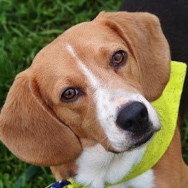 Beagle Baby by Dana Wigton - Animals - Dogs Portraits ( rescue dog, beagle, dog,  )