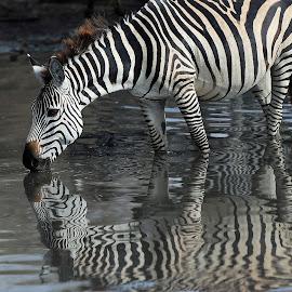 Reflections! by Anthony Goldman - Animals Other Mammals ( wild, reflectionm, nature, wildlife, zebra, tanzania, mammal, east africa, waterhole )