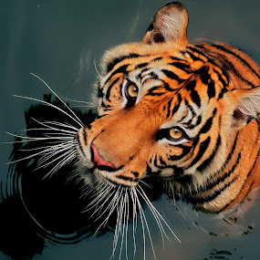 Si Belang 3 by Ubayoedin As Syam - Animals Lions, Tigers & Big Cats (  )