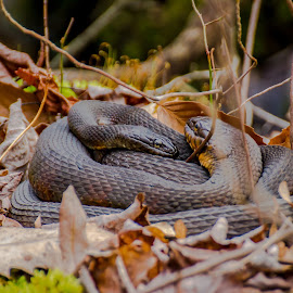 Tightly Wound by Mike Martin - Animals Reptiles ( curled, scales, water snake, wildlife, great swamp, reptile, leaves, nj, snakes, new jersey )