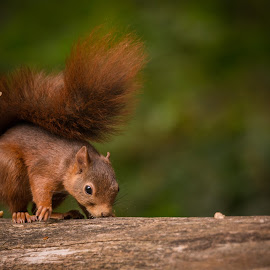 Lunch time by Avtar Singh - Animals Other ( wild, nature, grains, eating, tail, squirrel, animal )