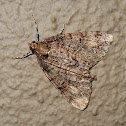 Common Forest Looper Moth