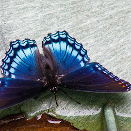 Black and blue beauty  by Teresa Solesbee - Animals Other ( nature, butterfly, colorful, summer )