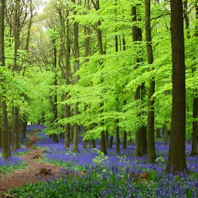 Avatar by Peter Parker - Landscapes Forests ( wood, green, path, trees, forest, leaves, bluebells )