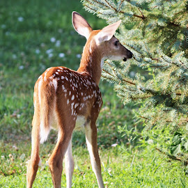 fawn by Rita Flohr - Novices Only Wildlife ( mammals, spots, baby deer, animals, nature, fawn, deer )