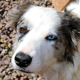Blue by Tina White - Animals - Dogs Portraits ( collie, pet, blue eye, dog, animal )