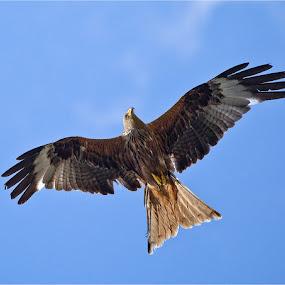 red kite in flight by Stephen Hooton - Animals Birds