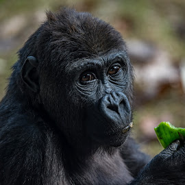 Eating  A Pepper by Roy Walter - Animals Other Mammals ( captivity, zoo, ape, wildlife, gorilla, animal )