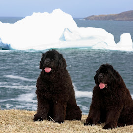Totally Newfoundland by Alick Tsui - Animals - Dogs Portraits ( newfoundland dogs, dogs, canada, icebergs, newfoundland, hiking trails, ocean, east coast trail,  )