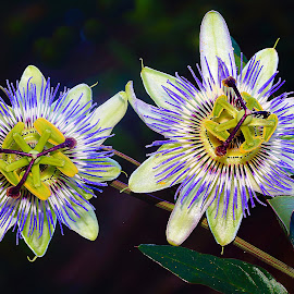 Duo passion by Gérard CHATENET - Flowers Flowers in the Wild