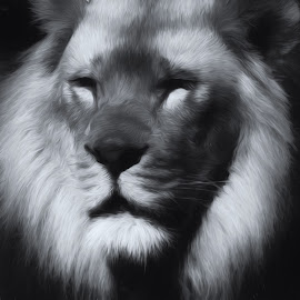 by Dave Walters - Digital Art Animals ( black & white, lions, nature, lumix fz2500, animals,  )