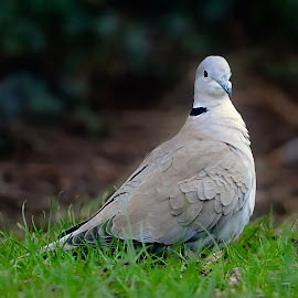 Love Dove by Stephen Crawford - Animals Birds ( sitting, collared, valentines day, love dove, feathers, romance,  )