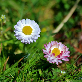 English Lawn Daisy by Brent Monique Makenzie Moran - Flowers Flowers in the Wild ( wild flower, lawn daisy, daisys, english lawn daisy, grass, english daisy, daisy, flower,  )