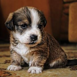 by Dubravko Butković - Animals - Dogs Puppies