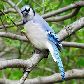Bluejay by Mary Gallo - Animals Birds ( bird, nature, wildlife, bluejay )