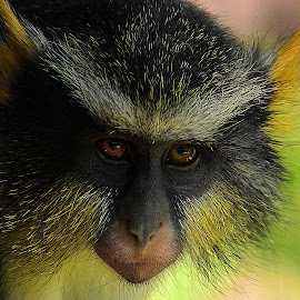 Wolf's Guenon Portrait by Shawn Thomas - Animals Other Mammals