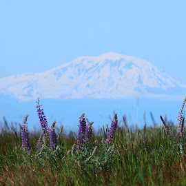 Mt Adams from the Rattle Snake hills and spin flowers by Julia Van Klinken Myers - Landscapes Mountains & Hills ( spring flowers, hills, desert, mountain, flowers, snowy volcano, spring, springtime )